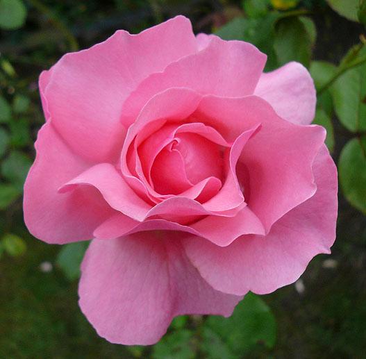 rosenschmied die rose eine ganz besondere blume. Black Bedroom Furniture Sets. Home Design Ideas