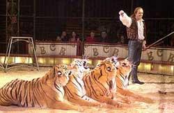 eine mischung aus löwe und tiger